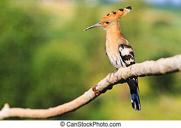 παράξενος , πουλί , κάθονται , αναμμένος ανάλογα με βγάζω κλαδιά , με , ένα , αναπολών , κοιτάζω
