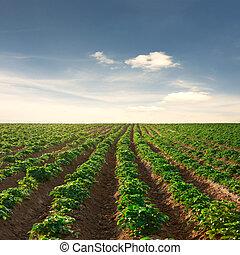 πατάτα , ηλιοβασίλεμα , γαλάζιος ουρανός , κάτω από , πεδίο