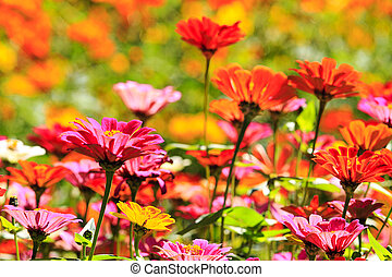 πεδίο , από , μαργαρίτα , λουλούδια