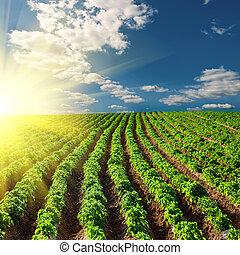 πεδίο , πατάτα , ηλιοβασίλεμα