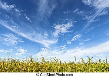πεδίο , ρύζι , ουρανόs , συννεφιασμένος , κάτω από