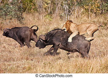 πελώρια , λιοντάρι , επίθεση , ταύρος , αρσενικό , βούβαλος