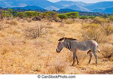 περίπατος , serengeti , zebra, ζώο