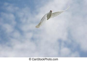 περιστέρα , άσπρο , πτήση