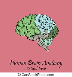 πλευρικός , χέρι , brain., ανθρώπινος , μετοχή του draw , έγχρωμος , βλέπω