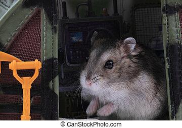 ποντίκι , dzungarian