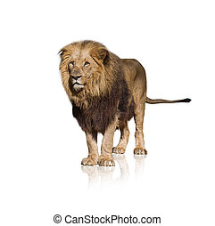 πορτραίτο , από , άγριος , λιοντάρι
