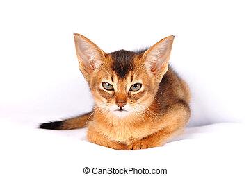 πορτραίτο , θυμωμένος , γατάκι