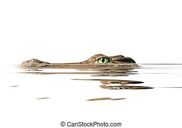 πορτραίτο , κροκόδειλος