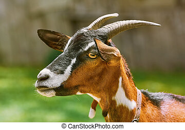 πορτραίτο , goat, νταντά