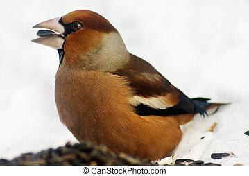 πουλί , αδηφάγος
