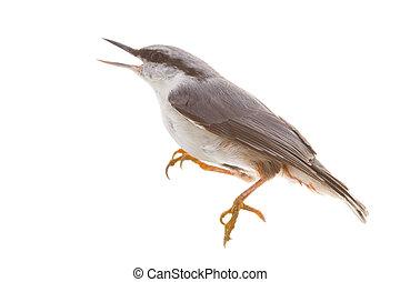 πουλί , απομονωμένος , επάνω , ένα , άσπρο , φόντο. , καρυοθραύστης