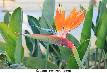 πουλί από επίγειος παράδεισος , λουλούδι
