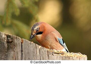 πουλί γραμμή τροφοδοσίας , κατάλληλος για να φαγωθεί ωμός , κήπος , κίσσα