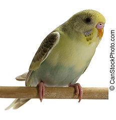 πουλί , - , budgie