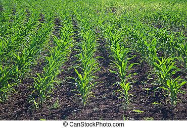 πράσινο , αραβόσιτος αγρός