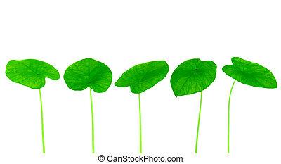 πράσινο , γλυκοπατάτα , φύλλο , συλλογή