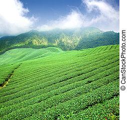 πράσινο τσάι , φυτεία , με , σύνεφο , μέσα , ασία