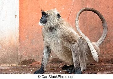 πόλη , ινδός , μαϊμούδες