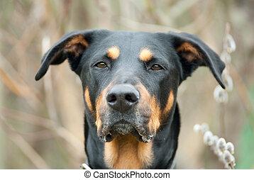 πόσχα , σκύλοs