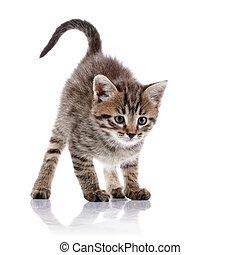 ραβδωτός , θυμωμένος , kitten.