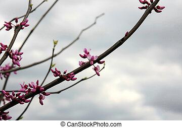 ροζ , κερασέα άνθος