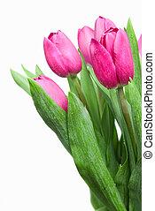 ροζ , τουλίπα