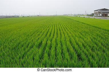 ρύζι αγρός