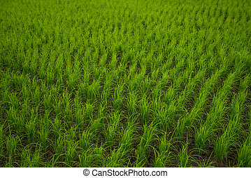 ρύζι αγρός , φόντο