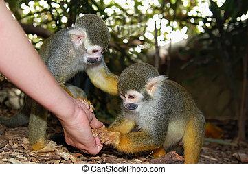 σίτιση , μαϊμού