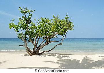 σιάμ , δέντρο , παραλία