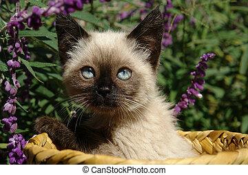 σιαμαίος , γατάκι