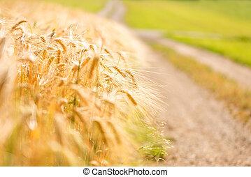 σιτάλευρο αγρός , άκρη