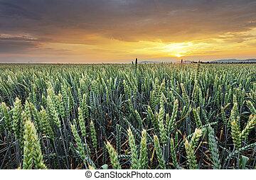 σιτάλευρο αγρός , - , γεωργία