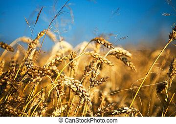 σιτάλευρο αγρός