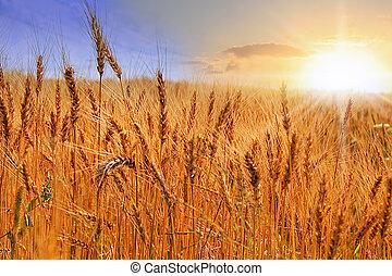 σιτάλευρο αγρός , επάνω , ηλιοβασίλεμα