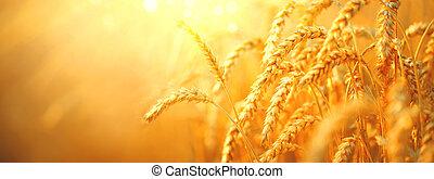 σιτάρι , field., αυτιά , από , χρυσαφένιος , σιτάρι , closeup., συγκομιδή , γενική ιδέα