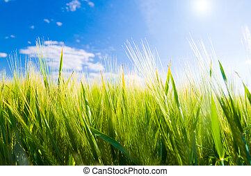 σιτάρι , field., γεωργία