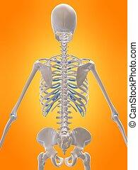 σκελετικός , πίσω , ανθρώπινος