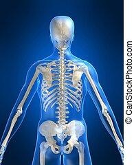 σκελετικός , πίσω