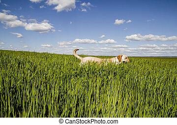 σκυλί ράτσας λαμπραντόρ θηραματοφόρος κυνηγετικός σκύλος , μέσα , σιτάλευρο αγρός , και , καλοκαίρι , ελευθερία