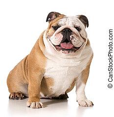 σκύλος μπουλντώκ , αγγλικός