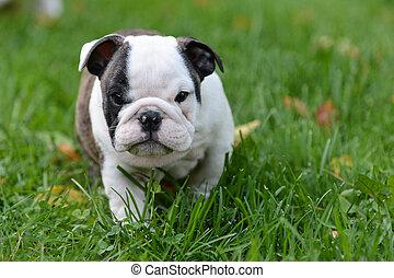 σκύλος μπουλντώκ , κουτάβι