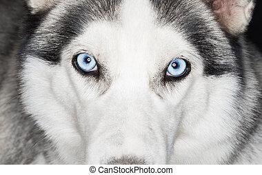 σκύλος χάσκεϋ , γκρο πλαν , αόρ. του shoot , σκύλοs