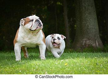 σκύλοs , κουτάβι , παίξιμο , ενήλικος