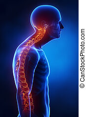 σπονδυλική στήλη , πλευρικός , kyphotic, ακτίνες χ , βλέπω