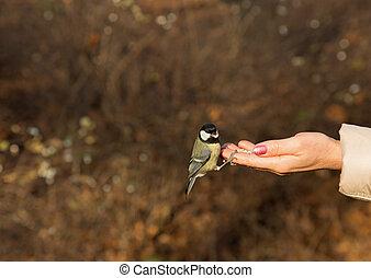 σπουδαίος , αιγίθαλος , πουλί , κάθονται , επάνω , ανθρώπινο όν ανάμιξη , και , feeding.horizontal.