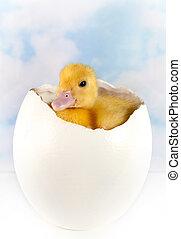 στρουθοκάμηλος , αυγό , με , πόσχα , duckling