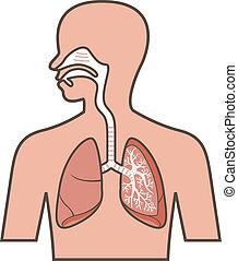 σύστημα , αναπνευστικός