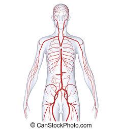 σώμα , αρτηρία